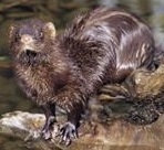 Mink Trapping Urine