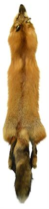 AuSable Wild Red Fox Tanned Fur Pelt with Tail 44