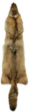 AuSable Coyote Tanned Fur Pelt with Tail